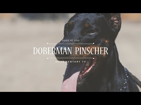 THE VOICE OF GOD: DOBERMAN PINSCHERS
