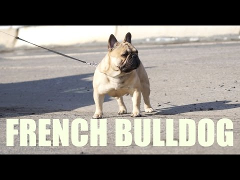 I AM LEGEND | FRENCH BULLDOG | BEST OF BREED