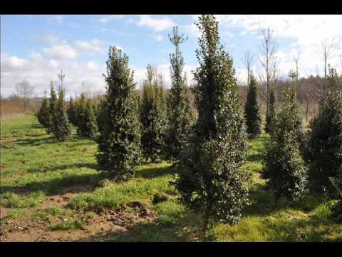 Our  Screening Plants    Large Skip Laurels      Bucks County Grower
