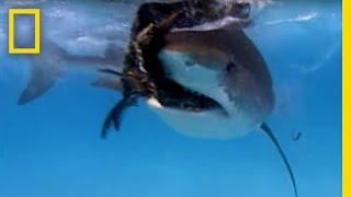Tiger shark vs Albatross