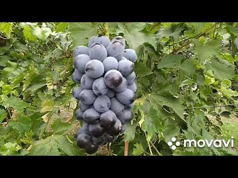 """Срезка винограда. Столовый сорт """"Архангел Гавриил."""""""