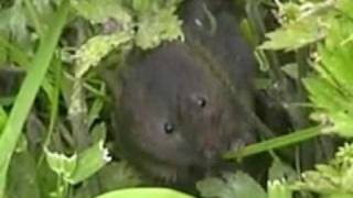 whitchurch water voles