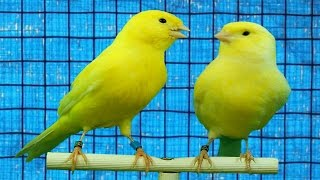 How to tell if a canary is male or female