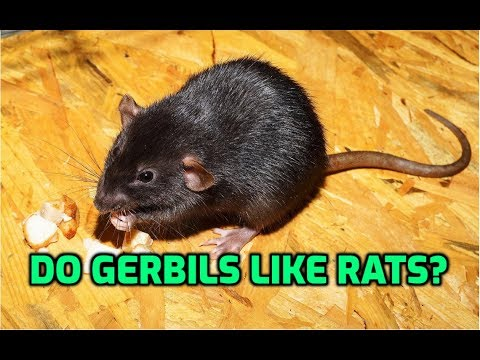 Do Gerbils Like Rats?