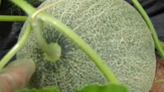 How to tell when your homegrown cantaloupes are ripe