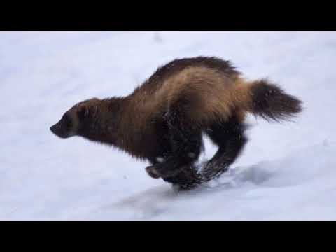 Wolverine Sounds Youtube