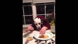 Dalmatian Eats At The Table