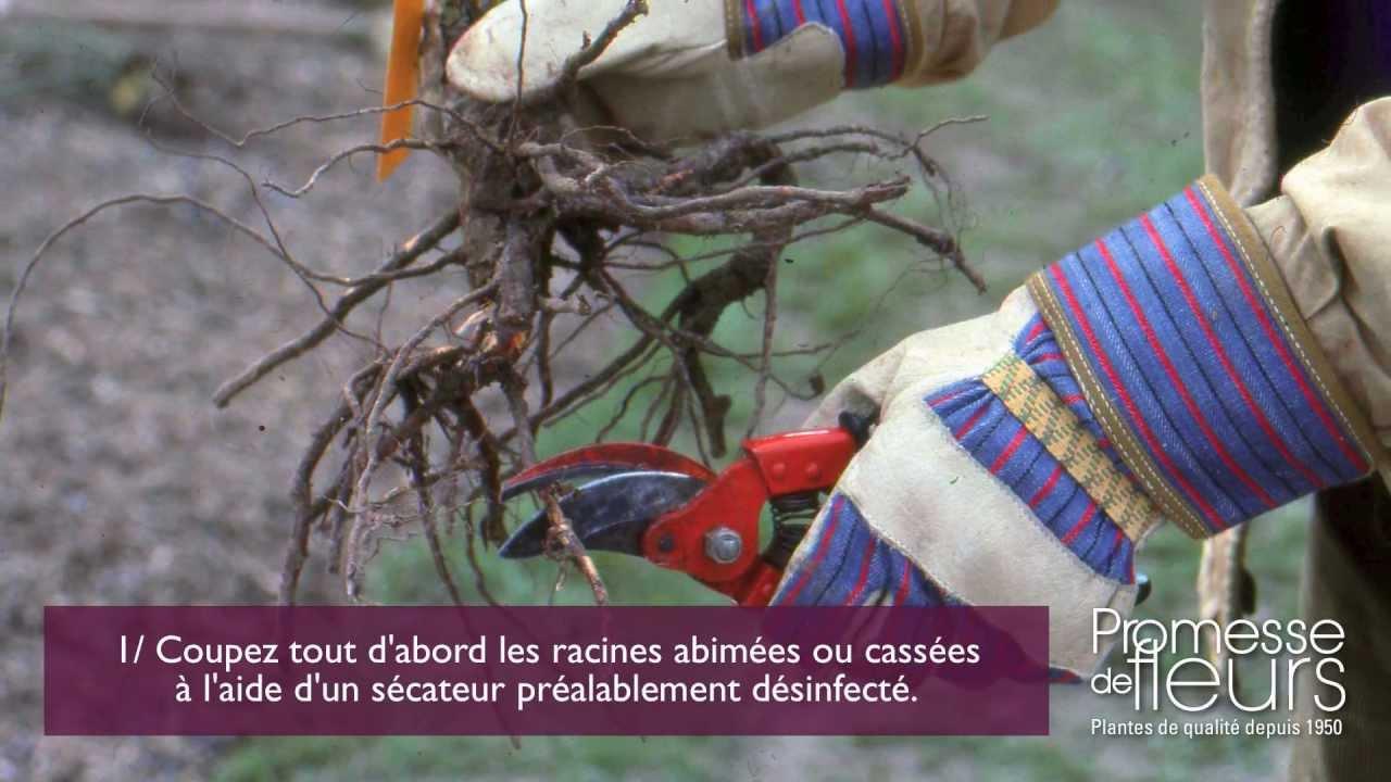 Comment planter un rosier en racines nues la vid o pas for Comment arroser un rosier en pot