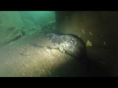 Our Scuba Trips | Diving with seals at Seal Gully, Mutton Island, Ireland, Atlantic Ocean, August 2017