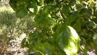 Έντονα συμπτώματα της ίωσης Σάρκα ή Ευλογιά (Sharka - PPV) σε φύλλα δένδρων δαμασκηνιάς