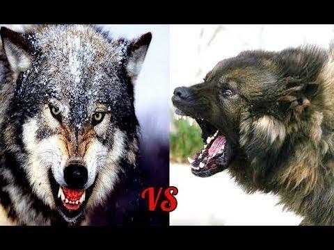 5 СОБАК КОТОРЫЕ МОГУТ ЗАВАЛИТЬ ВОЛКА собаки против волков , волк против волкодава , самые большие