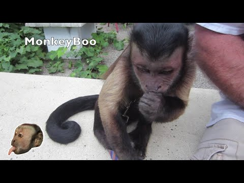Capuchin MonkeyBoo and Pete Share Crickets