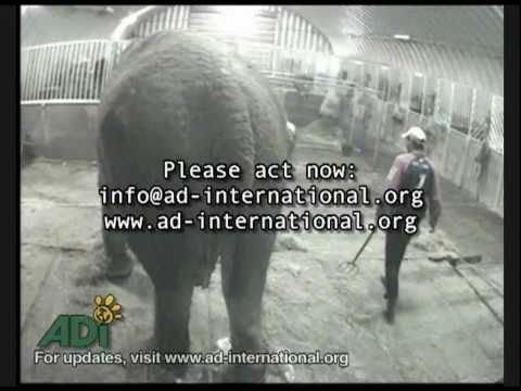 Annie the Elephant Beaten, Kicked and Abused in Undercover Footage