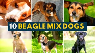 10 Of the Best Beagle Mixes In All Shapes, Sizes And Colors!