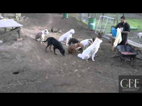 Live stream of feeding 12 dogs