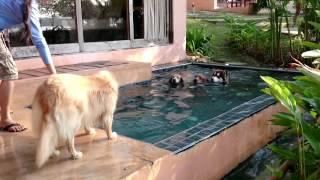 4 golden retriever 1 alaskan malamute in the pool