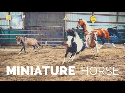 Discover The Miniature Horse!