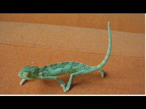 The Cutest baby Veiled chameleon (Ch. calyptratus) (part 3/3) [Inferion7]
