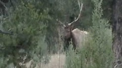 Clay Springs Arizona bull elk