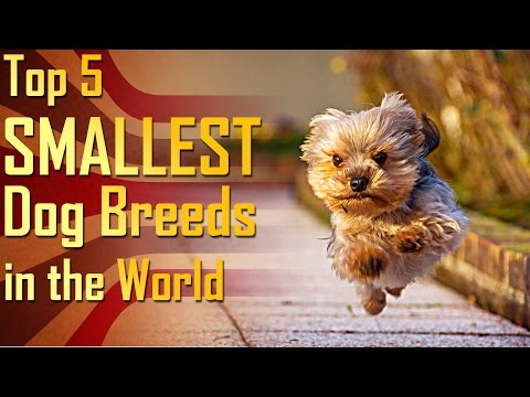 Top 5 Smallest Dog Breeds in the World