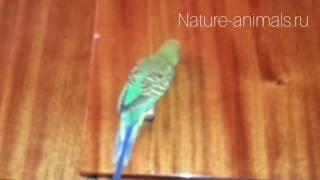 Разговор волнистого попугая