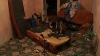 Хаски порвали диван