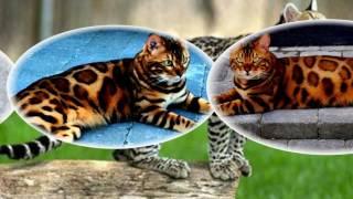 Бенгальские кошки с самой красивой шерстью...