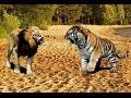 Львы против Тигров! Очень редкие кадры