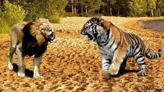 Львы против Тигров! Очень редкие кадры(, 2016-09-09T09:56:45.000Z)