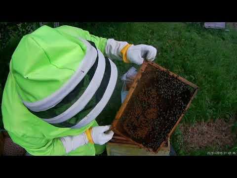 Аскосфероз лечим пчелок