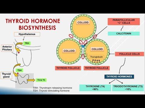 Thyroid Hormone Biosynthesis Youtube