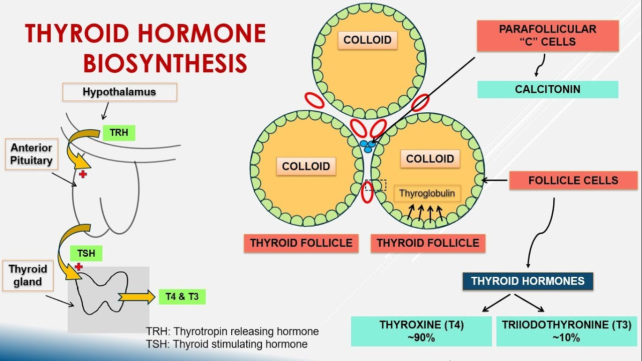 Thyroid Hormone Biosynthesis Youtube
