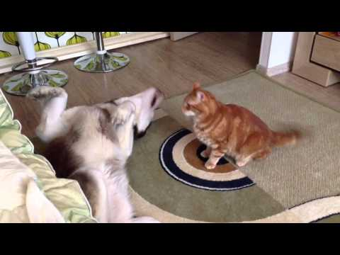 Husky Boss & Cat Vasja ( хаски Босс и кот Вася )