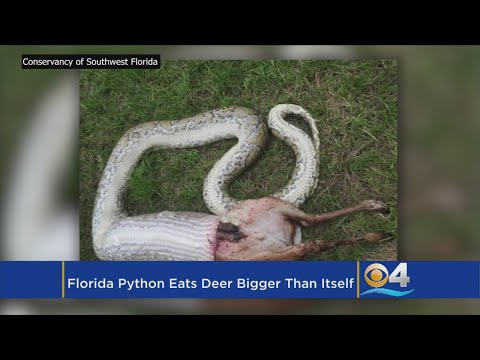 Burmese Python Eats Deer Weighing More Than Python Itself