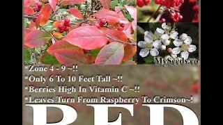 Red Chokeberry - Aronia arbutifolia Brilliantissima Seeds on  www.MySeeds.Co