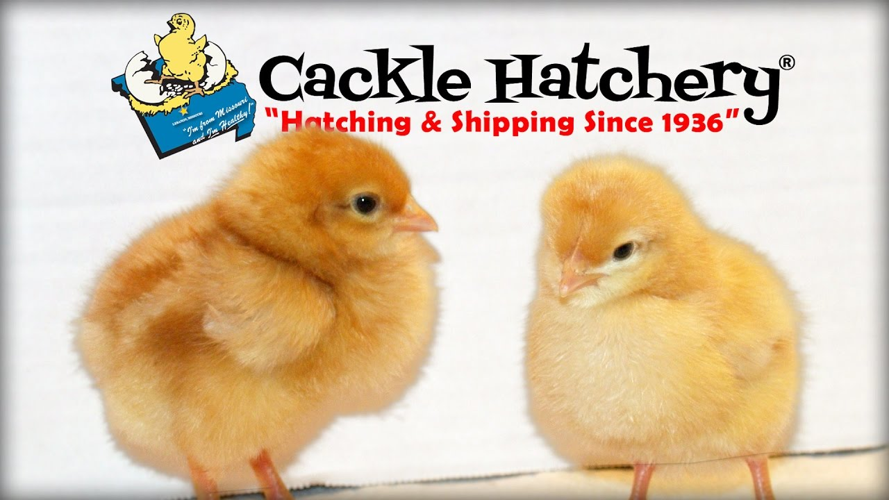 Chickens for Sale - Baby Chicks, Poultry & Fowl Egg Hatchery