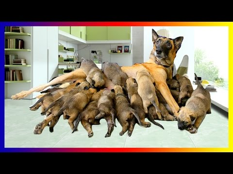 pregnant-australian-shepherd-dog-breeds-giving-birth-to-many-cutes-puppies
