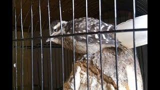 Burung pelatuk beras gacor murah tapi mewah untuk masteran burung kicau