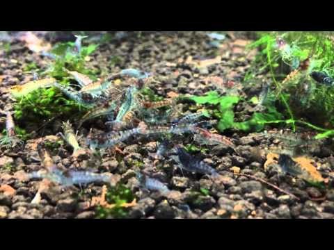 Wild Shrimps Series #2: Wild Blue Tiger Shrimp (Vietnam)