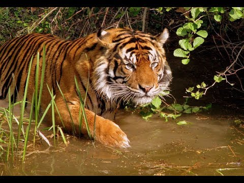 Royal siberian tiger