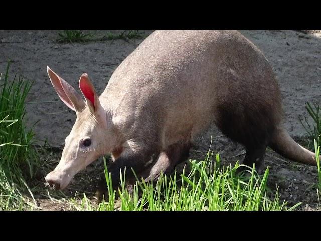 Detroit Zoo   Animal Welfare Tales: Aardvarks at the Zoo
