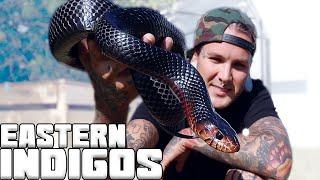 My Eastern Indigo Snake is growing so FAST!! | Tyler Nolan