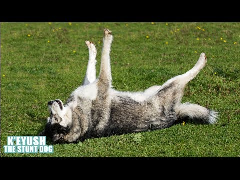 How To Recall A Stubborn Husky With A Sense Of Humour!