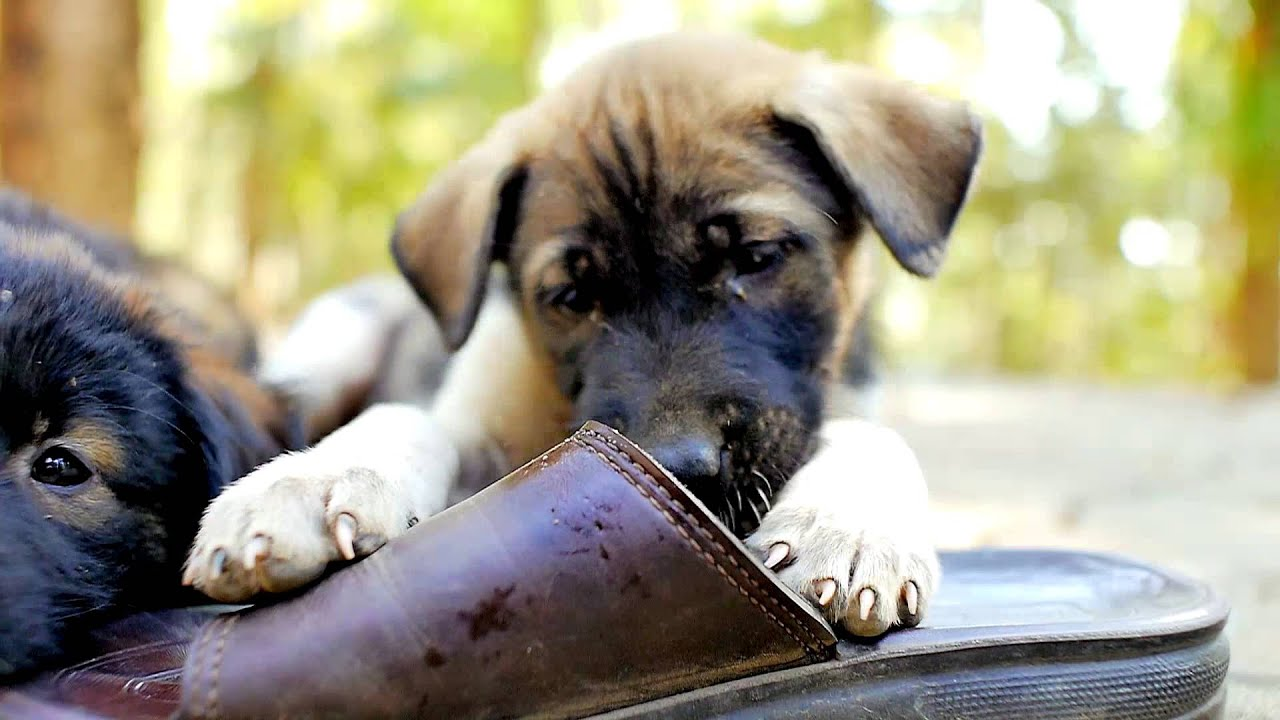 Photos of Puppies Chewing On Shoes