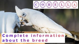 Corella. Pros and Cons, Price, How to choose, Facts, Care, History