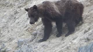 MOUNTAIN GOAT GRIZZLY BEAR ENCOUNTER IN CANADIAN ROCKIES