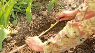 отводок винограда , размножение винограда