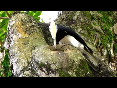 Oriental Pied Hornbill Nest 3