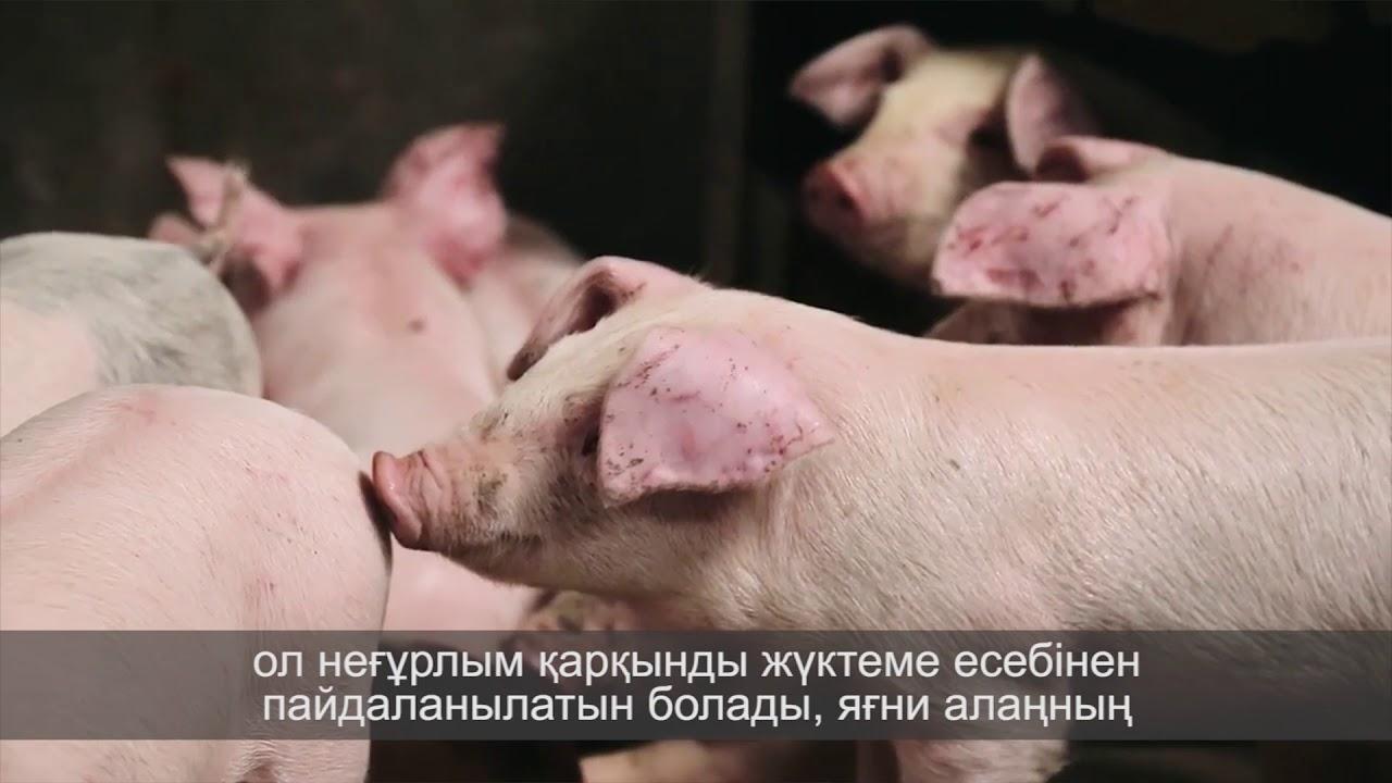 Свиноводство прибыльный бизнес