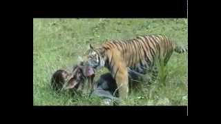 Man vs tiger real